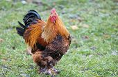 A Big Roostert. The Brahma Breed Has Several Subspecies. This Meat And Decorative Breed Is Prevalent poster