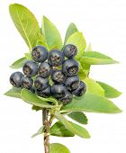 picture of aronia  - Aronia stem - JPG