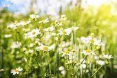 Summer Chamomile Flowers On Green Meadow In Bright Sunny Day. Camomile Flowers Background. Nature Of poster