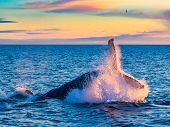 Humpback Whale Breaching In Deep Blue Sea At Iceland In The Morning poster