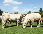 pic of charolais  - A large Charolais bulls sniffs the air behind a grazing Charolais cow in a spring pasture - JPG