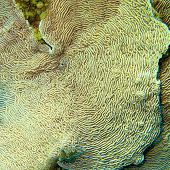 Coral Reef With Pachyseris Coral At The Bottom Of Tropical Sea, Underwater Landscape poster