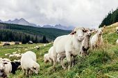 Flock of sheep in Tatra Mountains in Poland. Green pasture poster