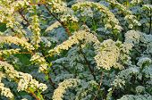 stock photo of meadowsweet  - A beautiful sunlit spiraea  - JPG