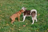Siberian Husky Puppy And American Staffordshire Terrier Puppy Are Playing In The Autumn Park. Pet An poster