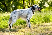 picture of english setter  - english setter  outdoor - JPG