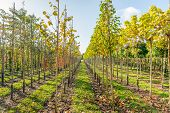 Duth Tree Nursery In The Fall Season. The Nursery Specializes In Trees For Avenues With A Branch-fre poster