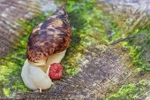 A Large Snail Creeps On Moss. Macro Shot Of A Snail With A Shell On A Natural Background. The Snail  poster