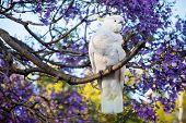 Sulphur-crested Cockatoo Seating On A Beautiful Blooming Jacaranda Tree. Urban Wildlife. Australian poster
