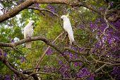 Sulphur-crested Cockatoos Seating On A Beautiful Blooming Jacaranda Tree. Urban Wildlife. Australian poster