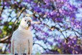 Close Up Of Sulphur-crested Cockatoo With Purple Blooming Jacaranda Tree On Background. Urban Wildli poster