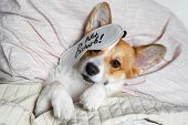 Cute Red And White Corgi Sleeps On The Bed On Its Back. Head On The Pillow, Covered By Blanket, Eyes poster
