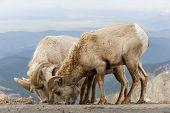 Wild Bighorn Sheep In The Rocky Mountains Of Colorado. Mammals Of Colorado poster