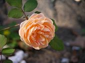 picture of knockout  - Peach double knockout rose in summer sun - JPG