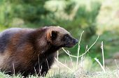 picture of wolverine  - Wolverine in wilderness close up profile in sunshine - JPG