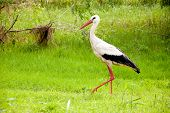 stock photo of stork  - White stork walking in a summer forest - JPG