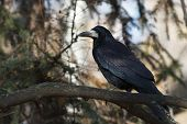 Black crow sitting on a tree branch