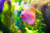 image of green algae  - Symphysodon discus in an aquarium on a green background - JPG