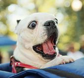 foto of yawning  - a cute dog in a back pack in a local park - JPG