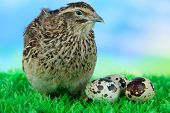 stock photo of quail  - Young quail with eggs on grass on blue background - JPG