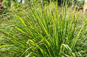 Lemon grass plant