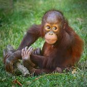 pic of orangutan  - Young one of The Bornean orangutan  - JPG