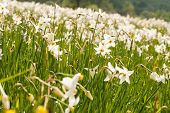 stock photo of narcissi  - National park of wild narcissies - Narcissus Valley. Famous Narcissus Valley the only in Europe reserve of the narrow leaf narcissuses. The international network of biosphere reserves by UNESCO.