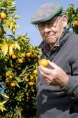 pic of satsuma  - old man picking Satsuma from tree out of garden - JPG