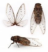 picture of exoskeleton  - Group of cicada insect isolated on white background.
