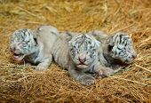 stock photo of white tiger cub  - one week white Bengal tigers in nature crying - JPG