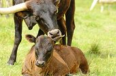 pic of longhorn  - Young Texas Longhorn calves in the pasture on a warm summer morning - JPG