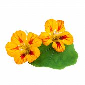 image of nasturtium  - Nasturtium Flowers with Leafs isolated on white background - JPG