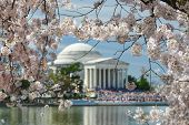 Jefferson Memorial during Cherry Blossom Festival in spring - Washington DC, United States of Americ