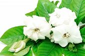 foto of gardenia  - White Gardenia flower or Cape Jasmine  - JPG