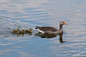 picture of baby goose  - One greylag goose with young goslings in a lake - JPG
