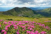 Mountain landscape with meadow flowers a sunny day. Bushes blooming pink rhododendron. Carpathian mo