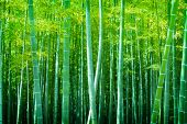 picture of bamboo leaves  - Beautiful bamboo forest - JPG