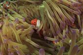 Nemo hiding in Anemone
