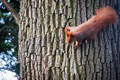 pic of polonia  - ginger squirrel on a tree in Lazienki Royal Bath Park in Warsaw Poland - JPG