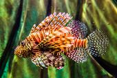 stock photo of lion-fish  - Lionfish in a Dubai aquarium - JPG