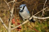 foto of blue jay  - Bluejay Perched On Branch In Morning Sun - JPG