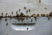 picture of swarm  - swarm of bees on hive making honey - JPG