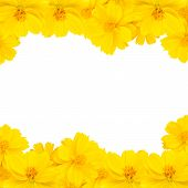 image of zinnias  - Yellow zinnia flower isolated on white background - JPG