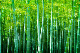 stock photo of bamboo  - Beautiful bamboo forest - JPG