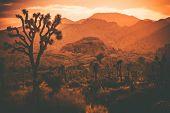 stock photo of plant species  - Joshua Trees and South California Desert - JPG