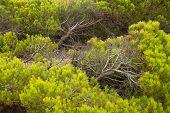 image of windswept  - Full frame take of windswept Mediterranean pine trees - JPG
