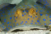 Постер, плакат: blue spotted sting ray