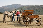 stock photo of blinders  - hitching up a pair of mules to the carriage - JPG