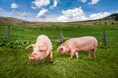 pic of husbandry  - Cute pigs grazing at summer meadow at mountains pasturage under blue sky - JPG