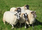 picture of huddle  - A small group of six Scottish Blackface sheep huddles on a meadow close together - JPG